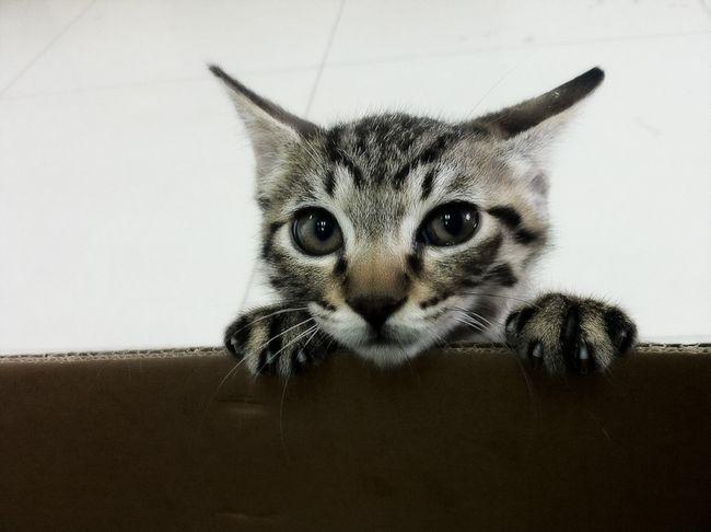 Китайська кішка