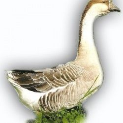 Китайські (гергель) гуси