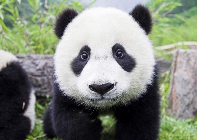 Вчені вивчили мову панд.