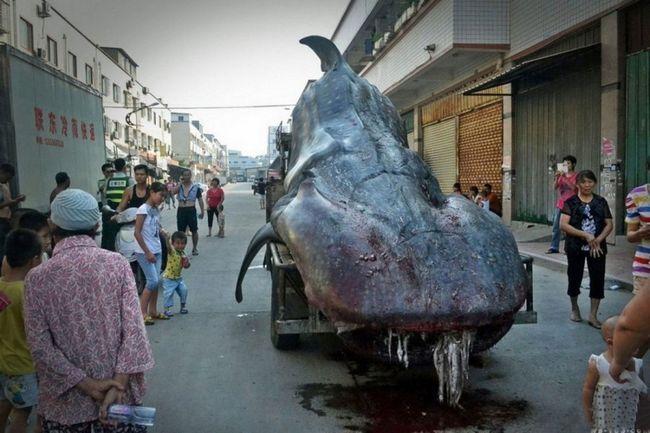 Китайський рибалка впіймав двотонну акулу