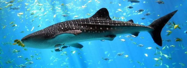 Китова акула (Rhincodon typus).