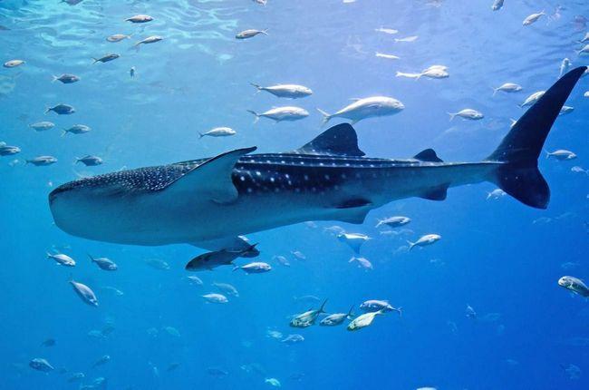 Китова акула - справжній підводний довгожитель.