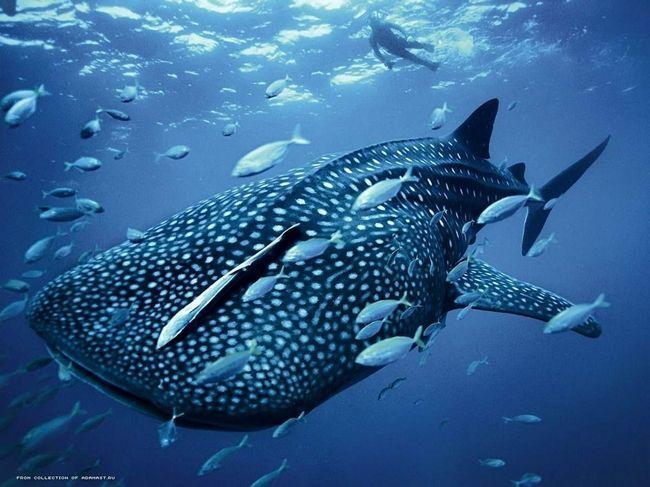 Китова акула в оточенні дрібних риб.