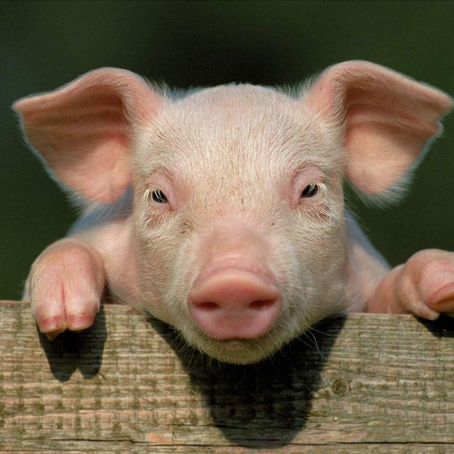 Девіда Кемерона звинувачують в участі в підозрілих ритуалах зі свинями.