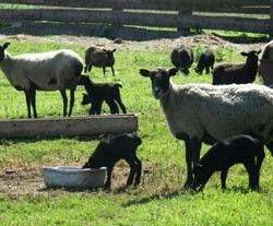Класифікація порід овець