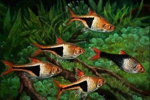 Клінопятністая расбора: зміст в акваріумі