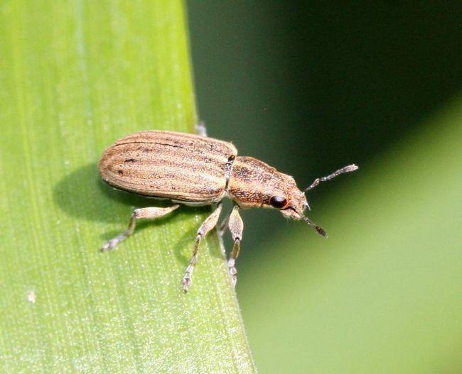 Бульбочкових довгоносик - полохлива комаха.