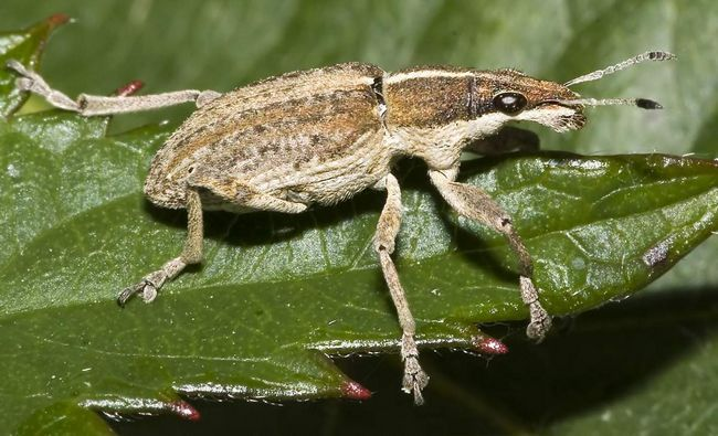 Спочатку жуки з`являються по кілька особин на одній рослині, але потім вони вибираються масово.