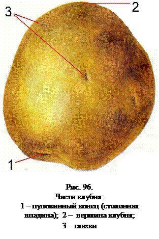 Бульби картоплі