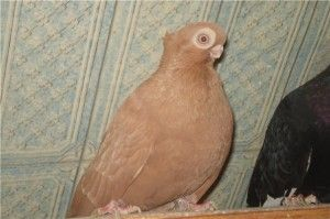 Кавовий турман (голуби)