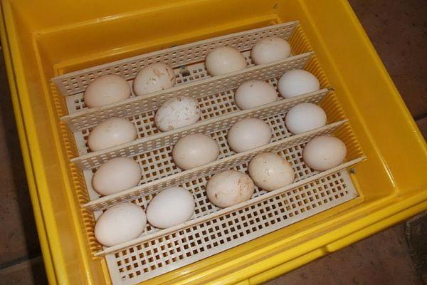 Яєчна продукція в інкубаторі