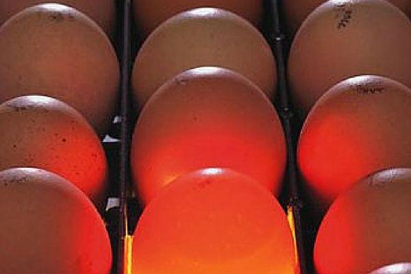 Цесарка дає високоякісний яєчний продукт
