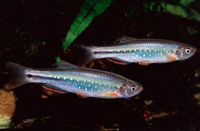 Самець і самка даніо.