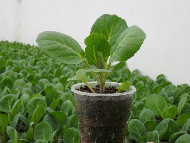 Коли садити капусту?