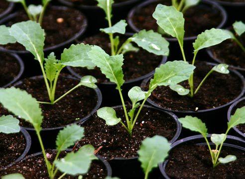 Коли садити капусту на розсаду?