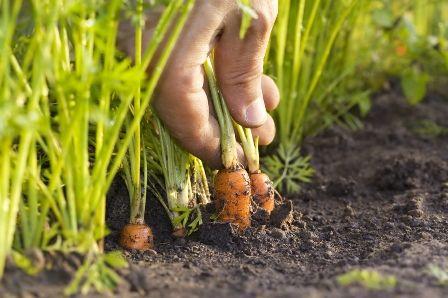 Коли садити моркву у відкритий грунт?