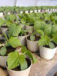 Коли садити розсаду огірків