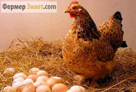 Коли чекати яєць від домашніх курей