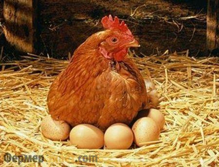 Курка на яйцях