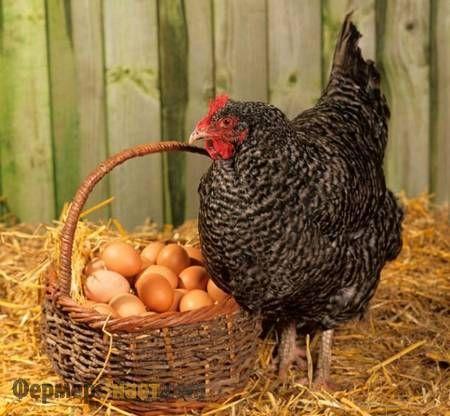 Курка і яйця