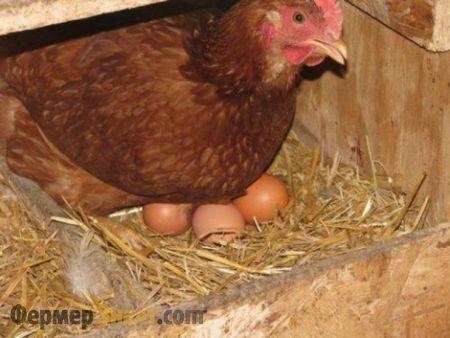 Курка знесла яйця