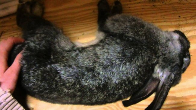 Кокцидіоз у кроликів - 2