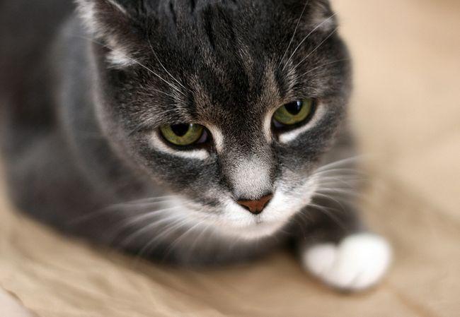 Коліт у кішок: симптоми і лікування