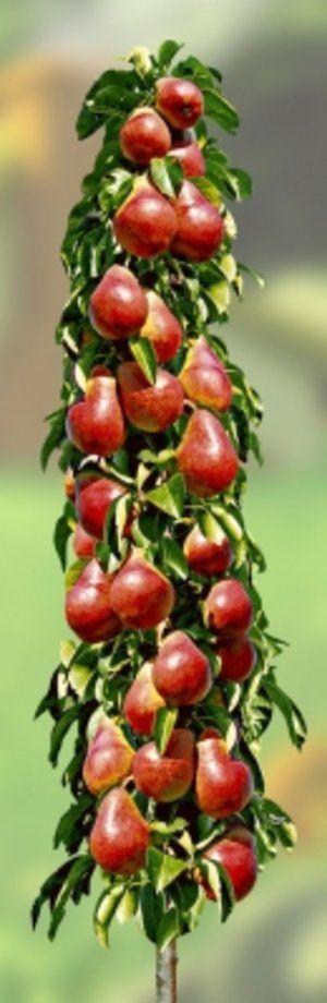 Плоди колоновидною груші дуже солодкі