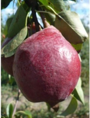 Плоди сорту «Кармен» виглядають дуже привабливо