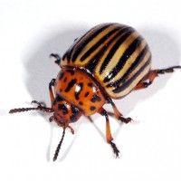 Колорадський картопляний жук