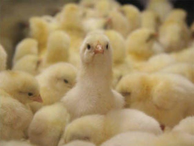 Комбікорм для курчат-бройлерів, робимо своїми руками