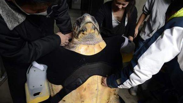 Тварині одягли спеціальний жилет, до якого кріпляться штучні кінцівки (фото: japandailypress.com)