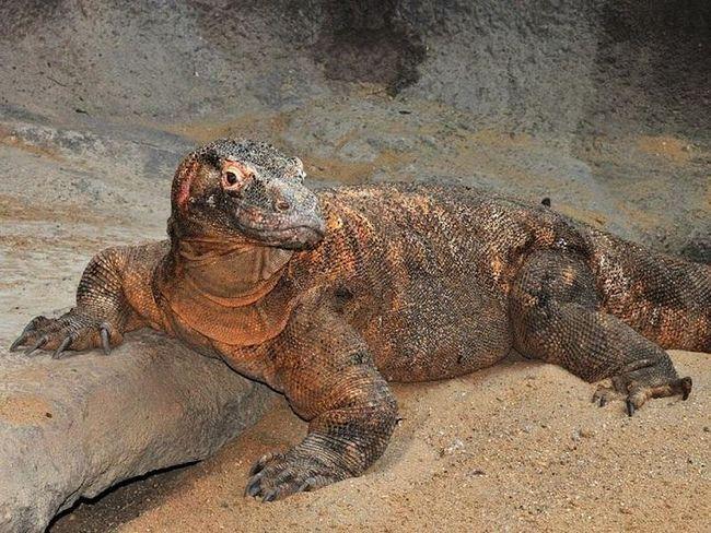Комодський варан - найбільша з нині живих ящірок