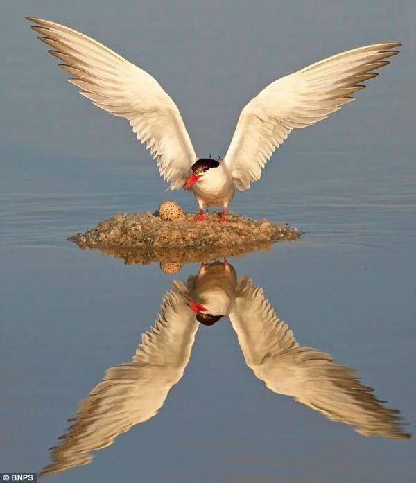 Крячок річковий влаштувала гніздо в незвичайному місці