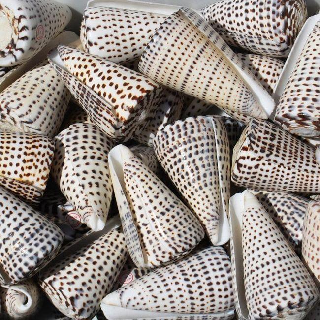 Раковини літературних конусів (Conus litteratus).