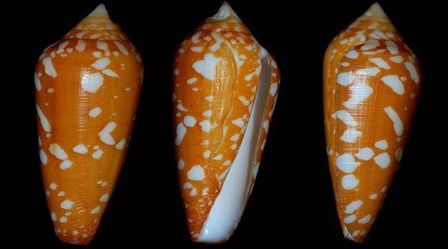 Шафрановий конус (Conus crocatus).