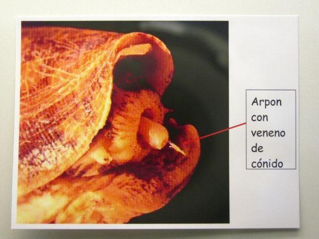 Отруйні молюски Конус (лат. Conidae) (англ. Conus)