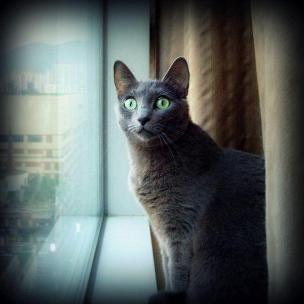 Корат - кішки короткошерстої породи