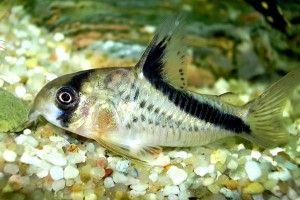 Коридорас сомик: утримання, догляд, розмноження