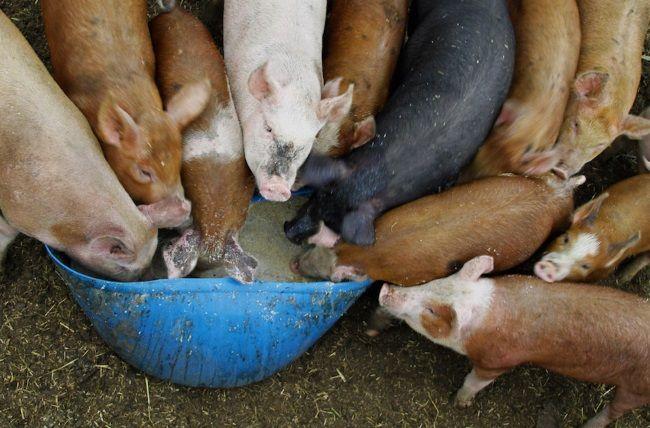 Корм для свиней: види, використання, харчова цінність