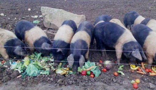 соковиті корми для свиней
