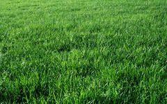 Зелені корми для гусей