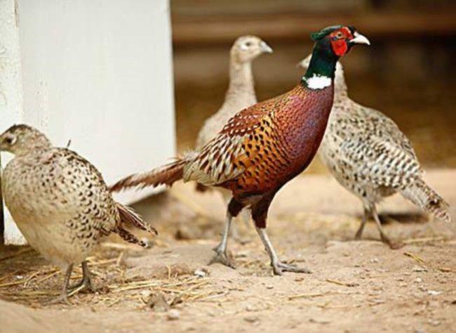 kormlenie fazanov v domashnih uslovijah