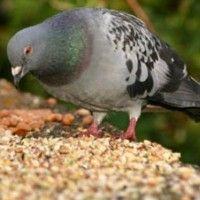 Годування та корми для голубів