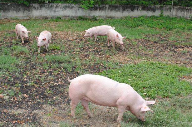 Племінні свиноматки пасуться на вигулі