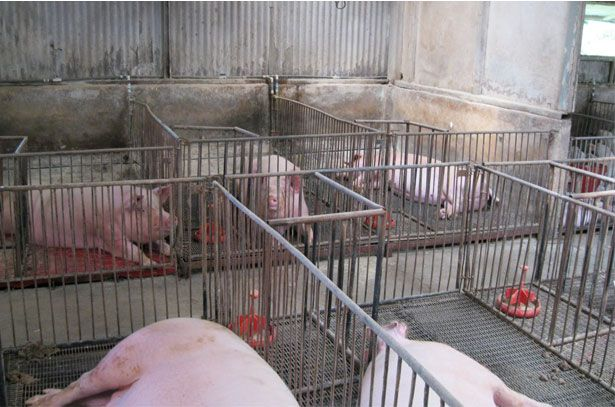Супоросні свиноматки в верстатах