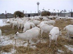 Годування кіз взимку