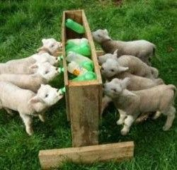 Годування козенят