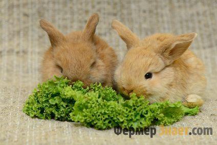 Декоративні кролики їдять салат