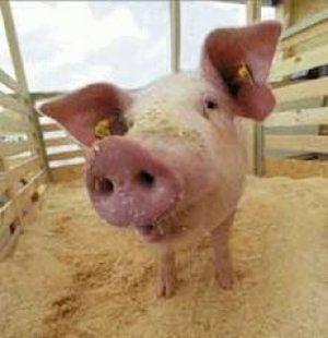 Правильне годування свиней